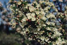 513097 Apple Blossoms Annapolis Valley Nova Scotia Canada A4 Photo Print