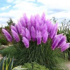 500Pc/Tasche Rare Schöne lila Pampas Gras Blumen Pflanzen Samen Garten Yard J8O4
