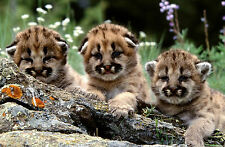 Framed Print - Baby Bobcats Playing on the Rocks (Picture Animal Tiger Lion Art)