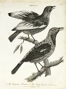 J Wilkes Lithograph Print Ampelis Bird Chatterer Scientific Engraving Birding by