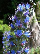 Chrestensen Wegerichblättriger Natternkopf Bienenweide Samen Blumen  543675