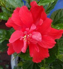 Hibiscus Celia Double Red flowers live in bloom 3 gal