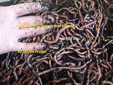 Dendrobena Lebendköder Rotwurm Rotwürmer Lebend Würmer lebend Wurm Angelwurm