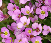 ARABIS WALL ROCK CRESS PINK Arabis Alpina Caucasica Rosea - 50 Seeds