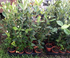 Feijoa sellowiana - Pineapple Guava - Live Plant - Cold Hardy Edible - 2-3' Tall