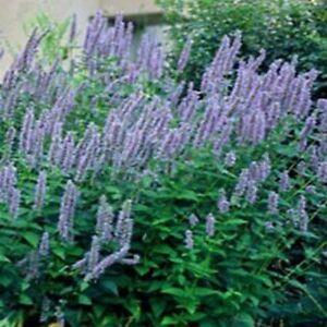 Hyssop- Anise- Agastache- 100 Seeds  - BOGO 50% off SALE