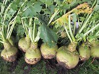 Rutabaga Vilgelmsburgskaya Vegetable Seeds from Ukraine