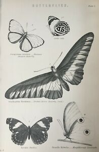 ANTIQUE PRINT C1870'S BUTTERFLIES ENGRAVING INSECTS HEWITSON'S AMAZON BUTTERFLY