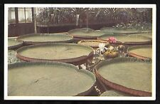 C.1960s View of Victoria Amazonica water lily at the Royal botanic Gardens, Kew