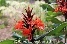 Hedychium rubrum- deceptum - 1 plant