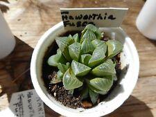 "New listing Rare-Haworthia Fusca-One 3.1/2"" Pot-Live"