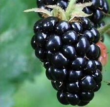 Triple Crown Blackberry - 20 Seeds - Giant Thornless Blackberries Black Berries