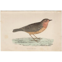 Morris Birds antique 1863 hand-colored engraving print Pl 88 Red-throated Pipit