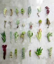 "28 Assorted Succulent Cuttings/ 28 Varieties/ 3""-6"" Organic Succulents Free Ship"