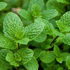 New listing Arugula Herb Seeds - Bulk - 4,000 Seeds *