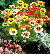 Painted Daisy - Merry Mixed -  450 SEEDS  - Chrysanthemum Carinatum - ANNUAL