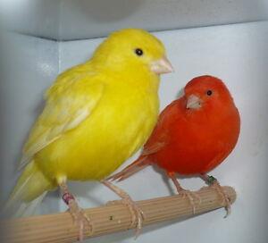 NEW SUPER BIRD MELODY SONG CANARY TRAINING CD MY BEST BIRD