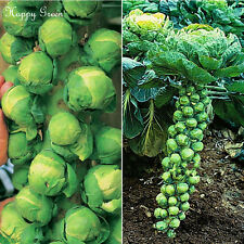 BRUSSEL SPROUTS - A mid-late variety -  600 SEEDS
