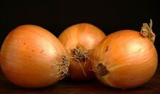 YELLOW ONION - heirloom vegetable organic plant herb salad spice seed -100 seeds