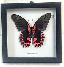 "REAL ""RED MORMON"" BUTTERFLY, PAPILIO RUMANZOVIA TAXIDERMY IN BLK SHADOWBOX FRAME"