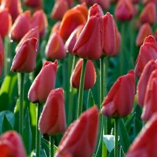 "10 SUPERBE /""Parade/"" Tulipes Gratuit UK Envoi ampoules à Plante Yourself"
