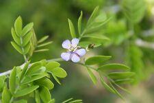 Lignum Vitae trees Beautiful blue flowers
