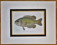 Original 1897 Rock Bass Fish Print Denton Chromo Lithograph Old Vintage Antique