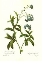 Vintage Botanical Forget Me Not Print Redoute Blue Flower Gallery Wall  pjr 3103