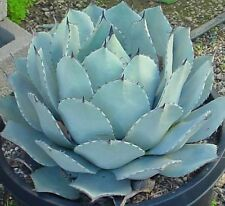 Agave Parryi - Stunning Parry's Agave - 10 Fresh Seeds - UK Hardy
