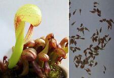 "Semi (10) di Darlingtonia californica - ""pianta cobra""-, pianta carnivora"