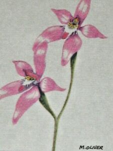 Calandenia Latifolia Pink Fairy Orchid by Mary-Ann Oliver Signed Unframed Print