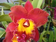 Bin- Blc. (Oconee x Sunset Sail) 'Paradise Bird' Fragrant! Cattleya Orchid Plant