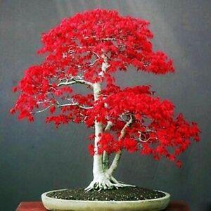 20 Seeds Japanese Red Maple Tree Bonsai Rare plant for home garden (JPN10)