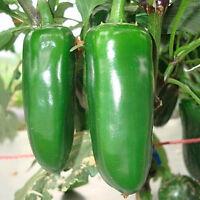 90 Samen  Jalapeno Chili Jalapenosamen fruchtig saftig mittelscharf-Samen F9V4
