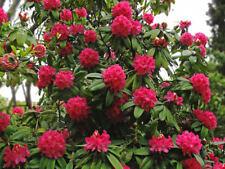 Rhododendron arboreum 50 seeds