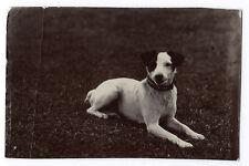 Photographie portrait de Chien Terrier Jack Russell?  ? 1910 photo dog