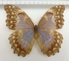 Morpho godartii ssp. lachaumei W. ex Yungas settentrionale, Bolivia, RAR!!! n165