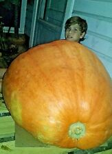 Show Winner Pumpkin Seeds- 250-450 pound COMB. S/H- SEE MY STORE FOR RARE SEEDS!