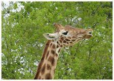Set de table photo original plastifié Girafe 2 Haute qualité