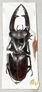 BEETLE - 34 Hexarthrius mandibularis male 105mm + -