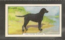 1938 UK Dog Art Full Body Study Gallaher Cigarette Card CURLY COATED RETRIEVER