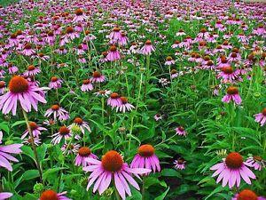 120+ Samen Echinacea purpurea - Sonnenhut Purpur