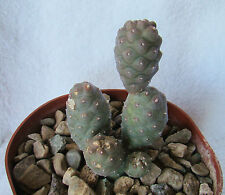 "TEPHROCACTUS ARTICULATUS VAR. PAPYRACANTHUS CACTI FROM ARGENTINA 4"" + OWN ROOTS"