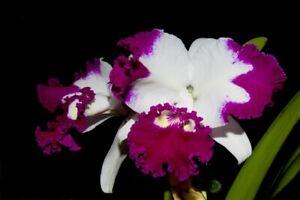 Orchid Cattleya  White Spark 'Panda'