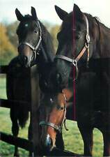 Animals topical postcard horses fotokunst Groh Germany