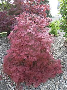 Acer palmatum Garnet, roter Schlitzahorn 70-80cm, Japanahorn
