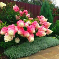 50Vanilla Strawberry hydrangea Flower Seeds for planting in pot or ground AB la