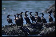 335038 Cormorants Ready To Take Flight A4 Photo Print
