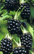 Rubus fruticosus 'Thornfree - Brombeere