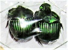 Uncommon Emerald Dung Scarab Beetle Sulcophanaeus achilli Pair FAST FROM USA